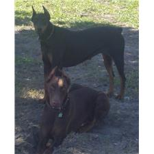View full profile for Shamrock Dobermans