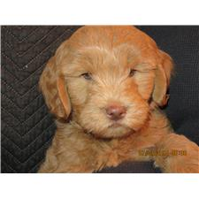 View full profile for KJ's  Goldendoodles