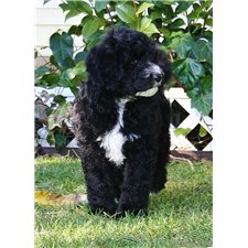 View full profile for California Sheepadoodles