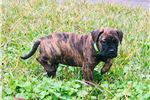 AKC Bullmastiff Female Pup (brown) | Puppy at 11 weeks of age for sale