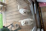 Picture of AKC Male Bichon Frise