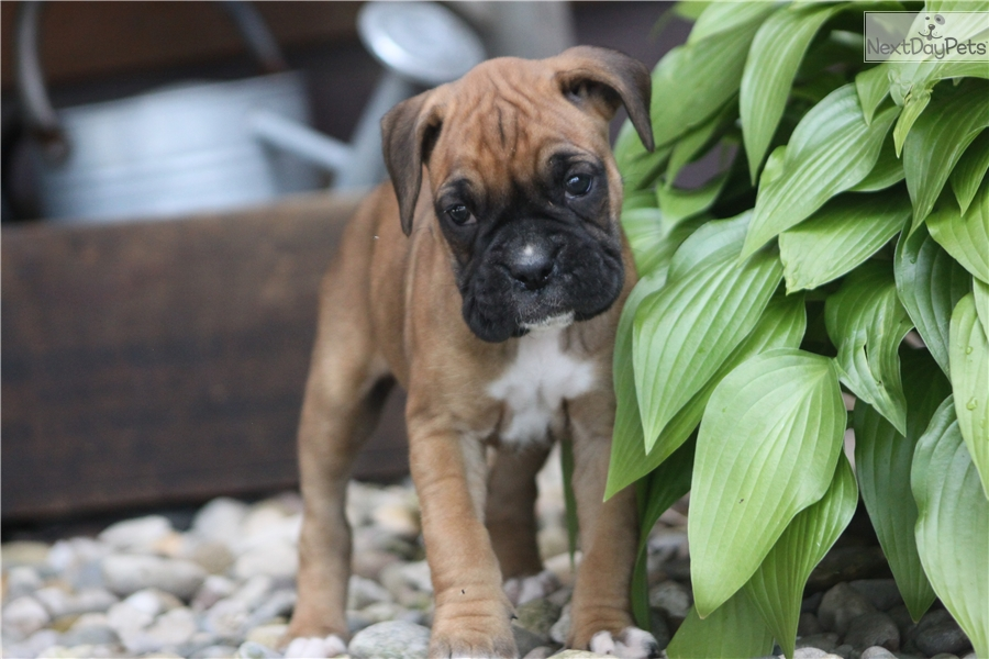 Boxer Puppy For Sale Near South Bend Michiana Indiana 332af2ae Ede1