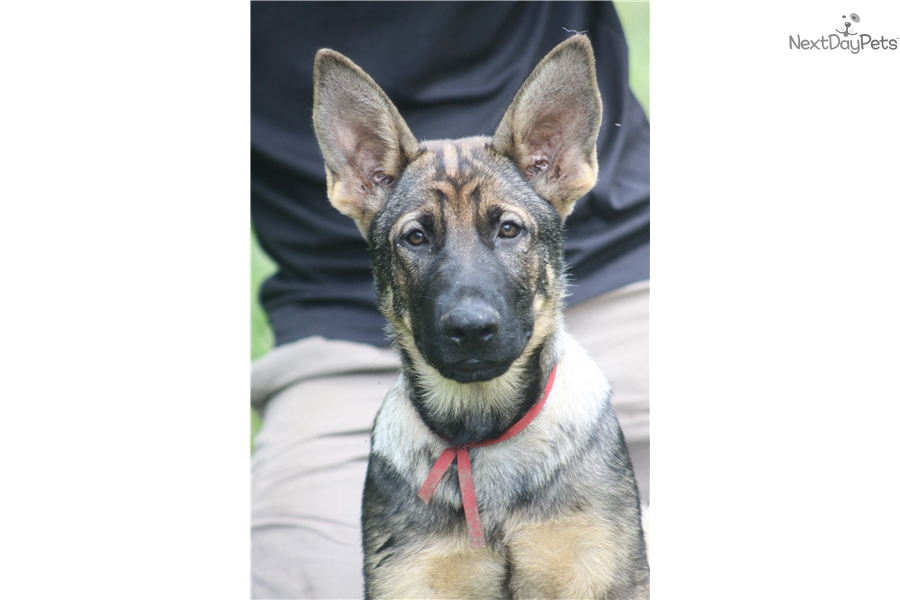German Shepherd Puppy For Sale Near South Bend Michiana Indiana