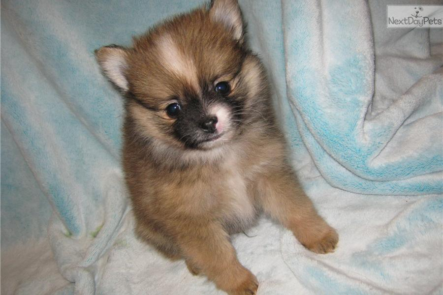 pomeranian breeders in pa pomeranian puppy for sale near philadelphia pennsylvania 4182