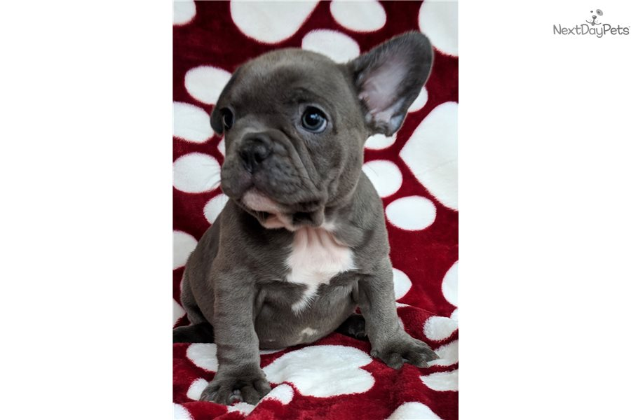 baby french bulldog for sale baby french bulldog puppy for sale near springfield 2681