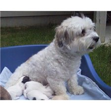 View full profile for Rc's Lovely Havanese
