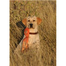 View full profile for King Creek Labradors