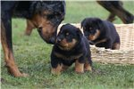 Picture of a Beauceron Puppy