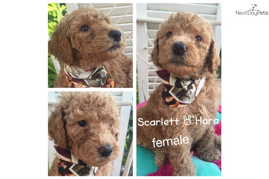 Labradoodle Puppy For Sale Near Tampa Bay Area Florida Af70fa6f 7d81