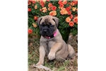 Gorgeous AKC Grand Champion Sired Pup | Puppy at 11 weeks of age for sale