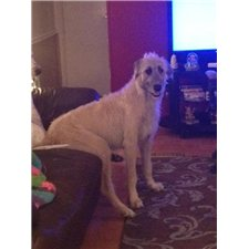 View full profile for Irish wolfhound lane