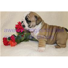 View full profile for Awesomenglishbullies