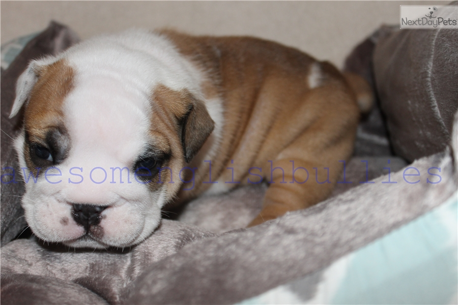 Red Collar: English Bulldog puppy for sale near Champaign