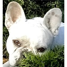 View full profile for Bellamyfrenchies
