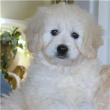 View full profile for Carriage House Cockapoos And Goldendoodles