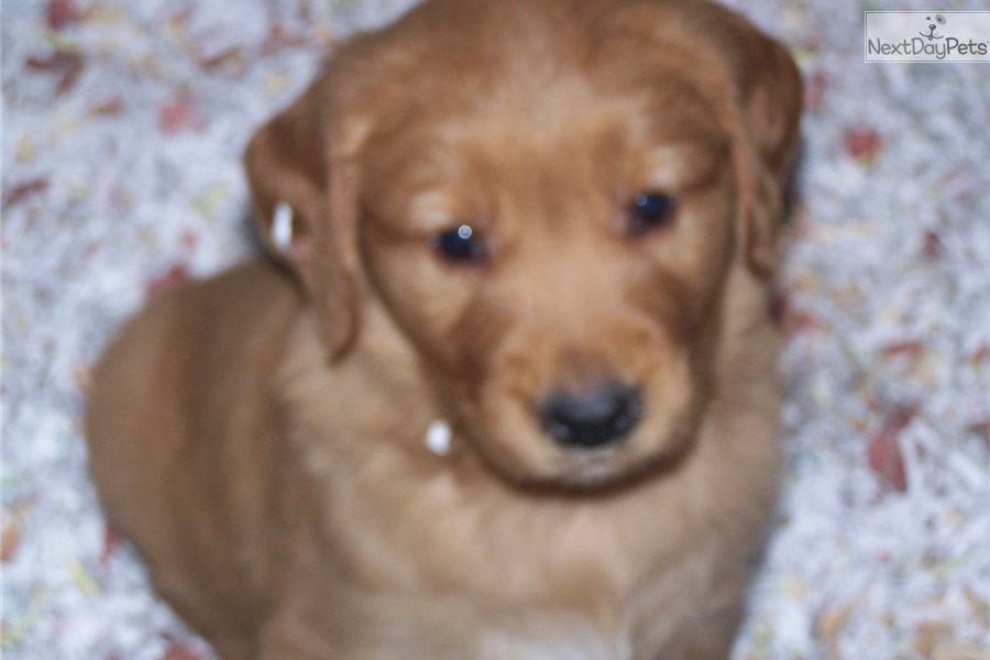 Golden Retriever Puppy For Sale Near Atlanta Georgia 736c2833 4591