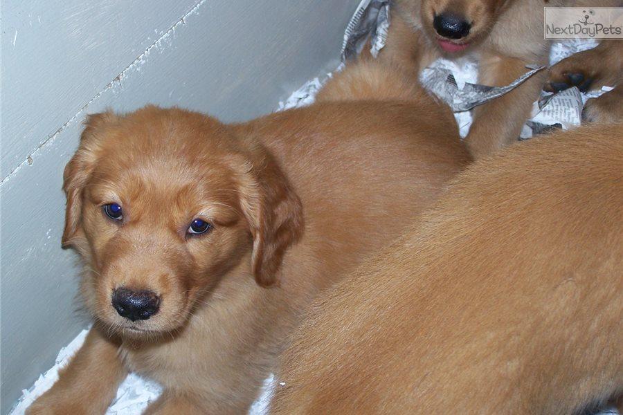 Sissy Golden Retriever Puppy For Sale Near Atlanta Georgia