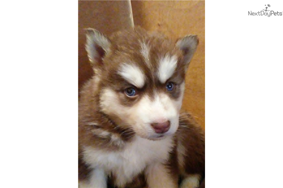 Baby Girl Siberian Husky Puppy For Sale Near St Louis Missouri