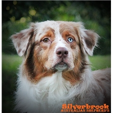 View full profile for Silverbrook Australian Shepherd's