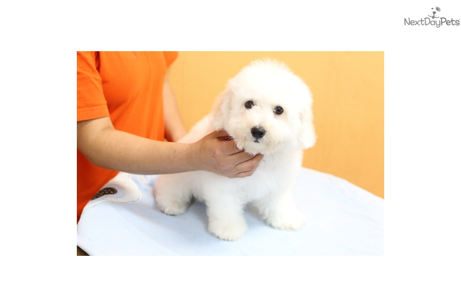 Dooly: Bichon Frise puppy for sale near Los Angeles