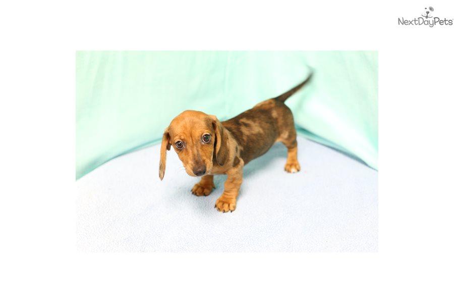 Skippy: Dachshund, Mini puppy for sale near Los Angeles, California