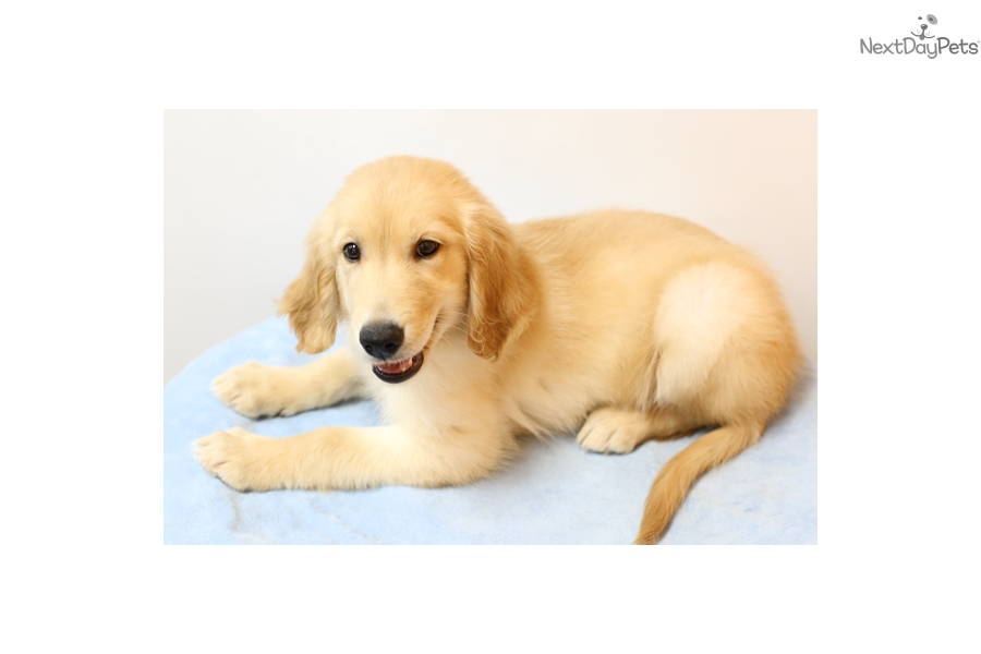 Shadow Golden Retriever Puppy For Sale Near Los Angeles California