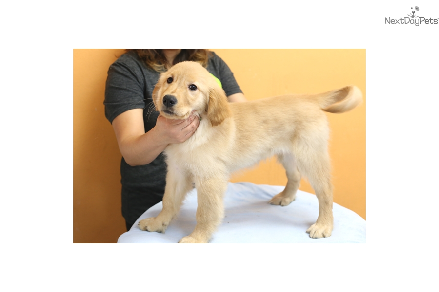 Prada Golden Retriever Puppy For Sale Near Los Angeles California