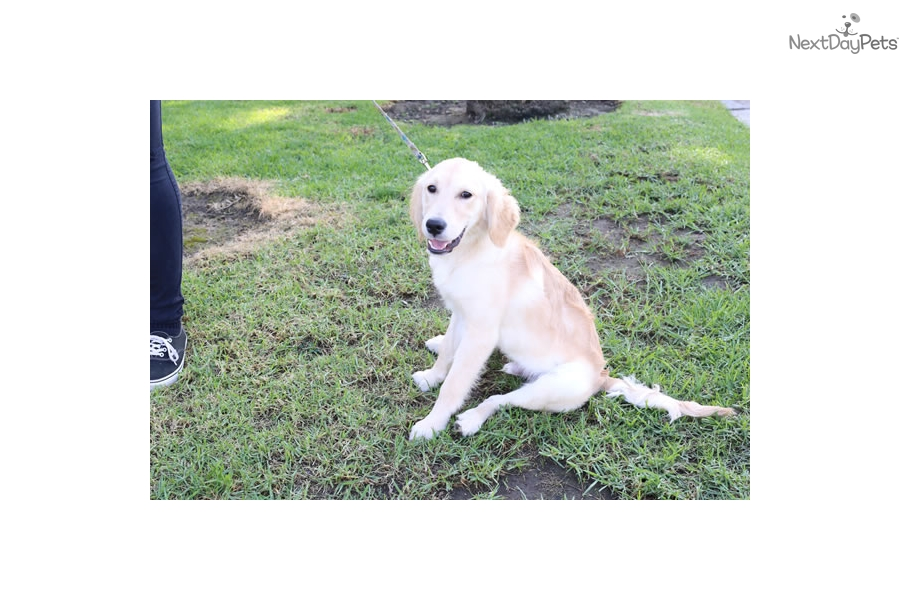 Ninja Golden Retriever Puppy For Sale Near Los Angeles California