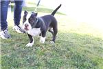 Picture of Stocky American Bully Puppy