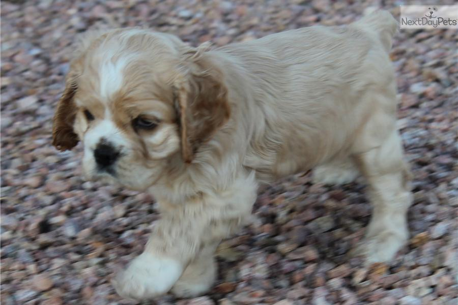 cocker spaniel for sale near me cocker spaniel puppy for sale near los angeles california 9742