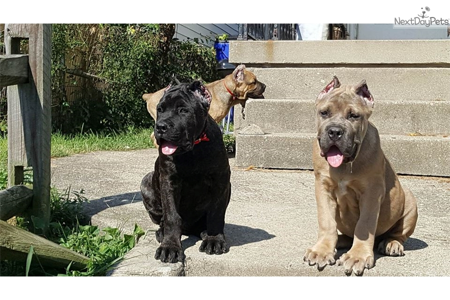 Cane Corso Mastiff Puppy For Sale Near Cincinnati Ohio 8cfd70d2 5f31