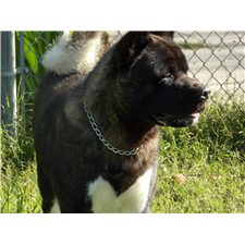 View full profile for Bearfaced Akitas