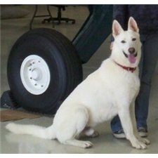 View full profile for White German Shepherd Beauties