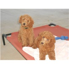 View full profile for Bay Rock Poodles