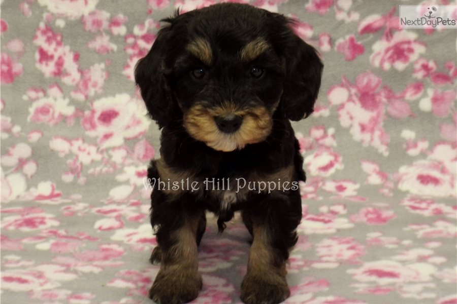 Bernedoodle Puppy For Sale Near Reading Pennsylvania