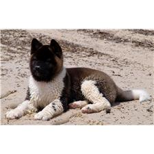 View full profile for Smith's Mountain Akita's