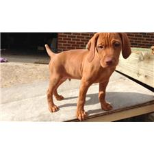 View full profile for Gundog Vizslas