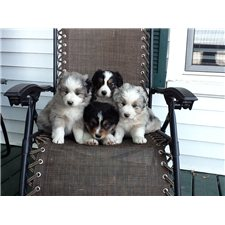 View full profile for Watson's puppies