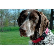 View full profile for Cheshams German Shorthairs
