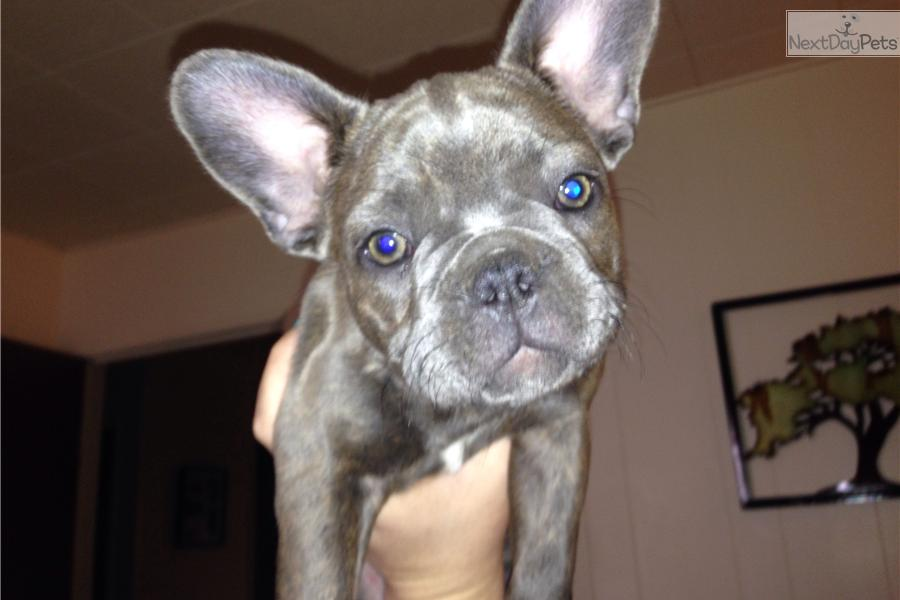 french bulldog breeders near me french bulldog for sale for 4 000 near humboldt county 6805