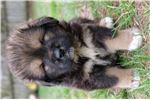 Picture of AKC Champion bloodline Kodiak Bear
