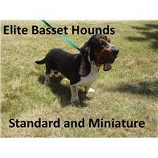 View full profile for Elite Basset Hounds