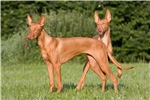 Picture of a Pharaoh Hound Puppy