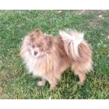 Puppies for Sale from Jaya Pomeranians - Member since February 2013