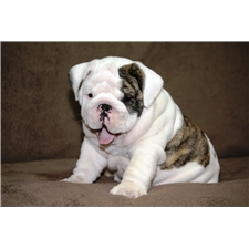 View full profile for Kailan Bulldogs