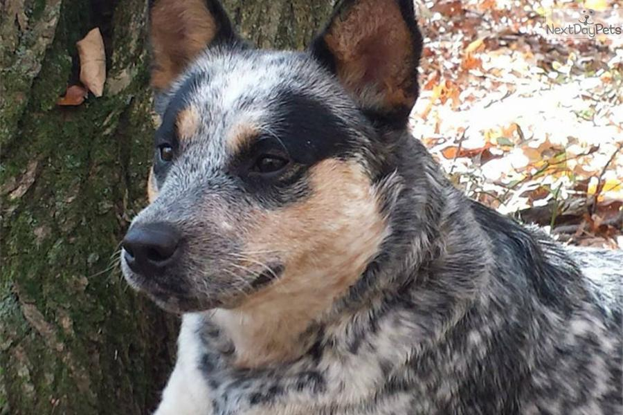 Blue Girls And Boys Australian Cattle Dog Blue Heeler