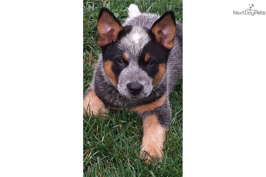 Blue Red Cattle Dogs