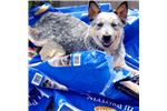 AKC AUSTRALIAN CATTLE DOG/ RED & BLUE HEELER | Puppy at 0 week of age for sale