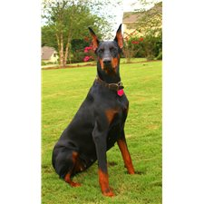 View full profile for dobies for sale