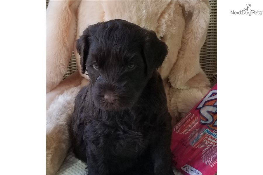Portuguese Water Dog For Sale Florida Pixy: Portuguese Water...